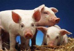 生肖猪猪年适合什么风水摆件?