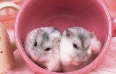 生肖属鼠的人感恩节出生命运怎么样?