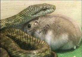 夢見蛇和老鼠