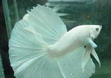 孕婦夢見魚