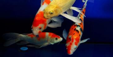 锦鲤鱼风水 锦鲤鱼养什么颜色好